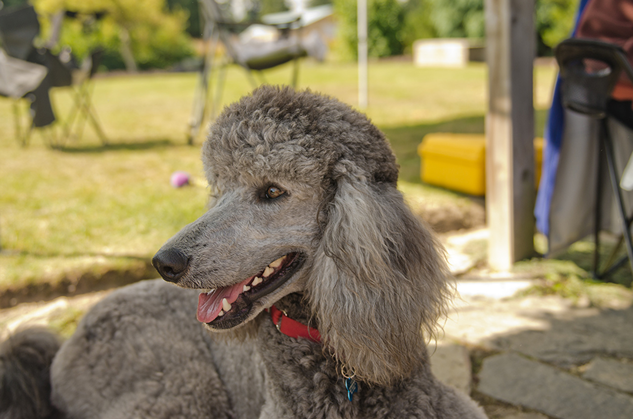 Картинка пудели собака Серый морды животное пуделя Пудель Собаки серая серые Морда Животные