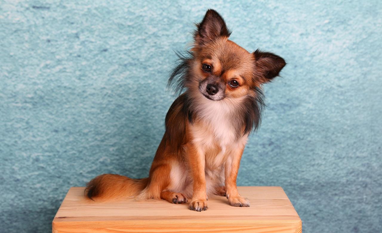 Картинки Чихуахуа Собаки сидя Животные собака Сидит сидящие животное