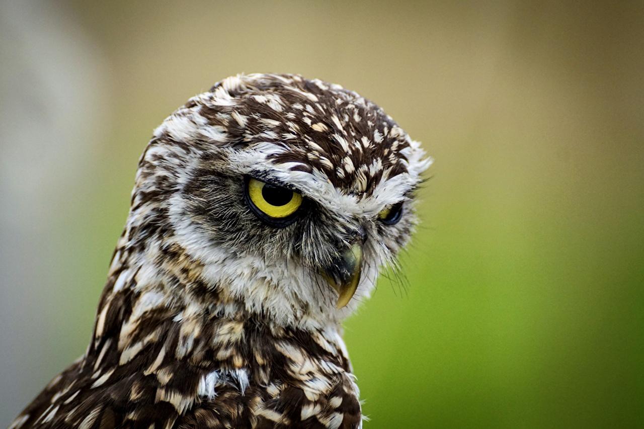 Фотография птица Совообразные Athene cunicularia головы Взгляд животное сова совы Птицы Голова смотрит смотрят Животные