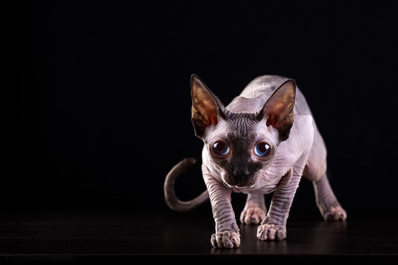 Фотографии Сфинкс кошка кот Взгляд Животные Черный фон коты Кошки кошка смотрят смотрит животное на черном фоне