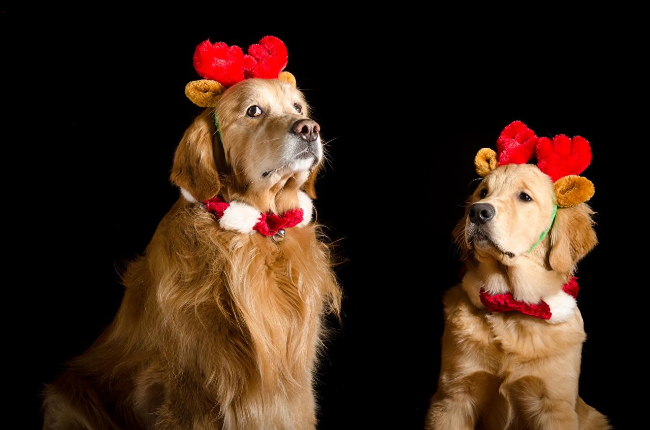 Обои для рабочего стола Золотистый ретривер Собаки Рождество Рога Двое Животные на черном фоне собака Новый год с рогами 2 два две вдвоем животное Черный фон