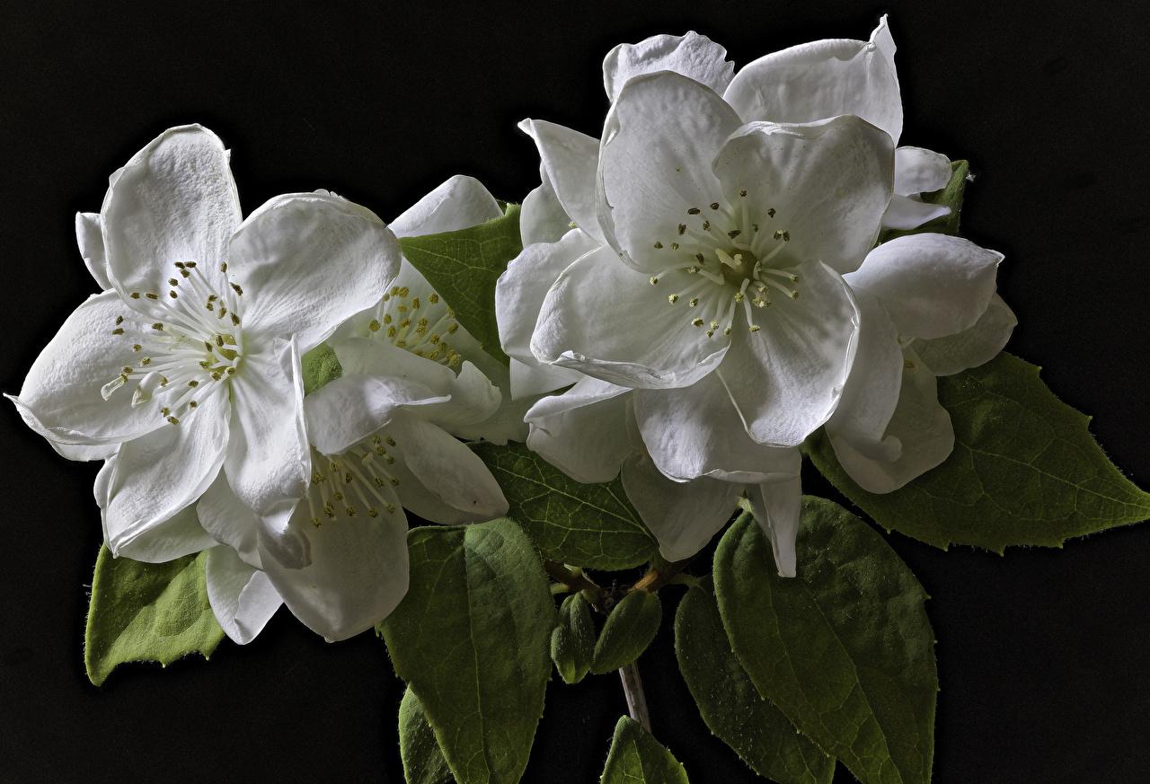 Картинки Jasminum Двое Белый цветок вблизи на черном фоне Цветущие деревья 2 два две белых белые белая вдвоем Цветы Черный фон Крупным планом