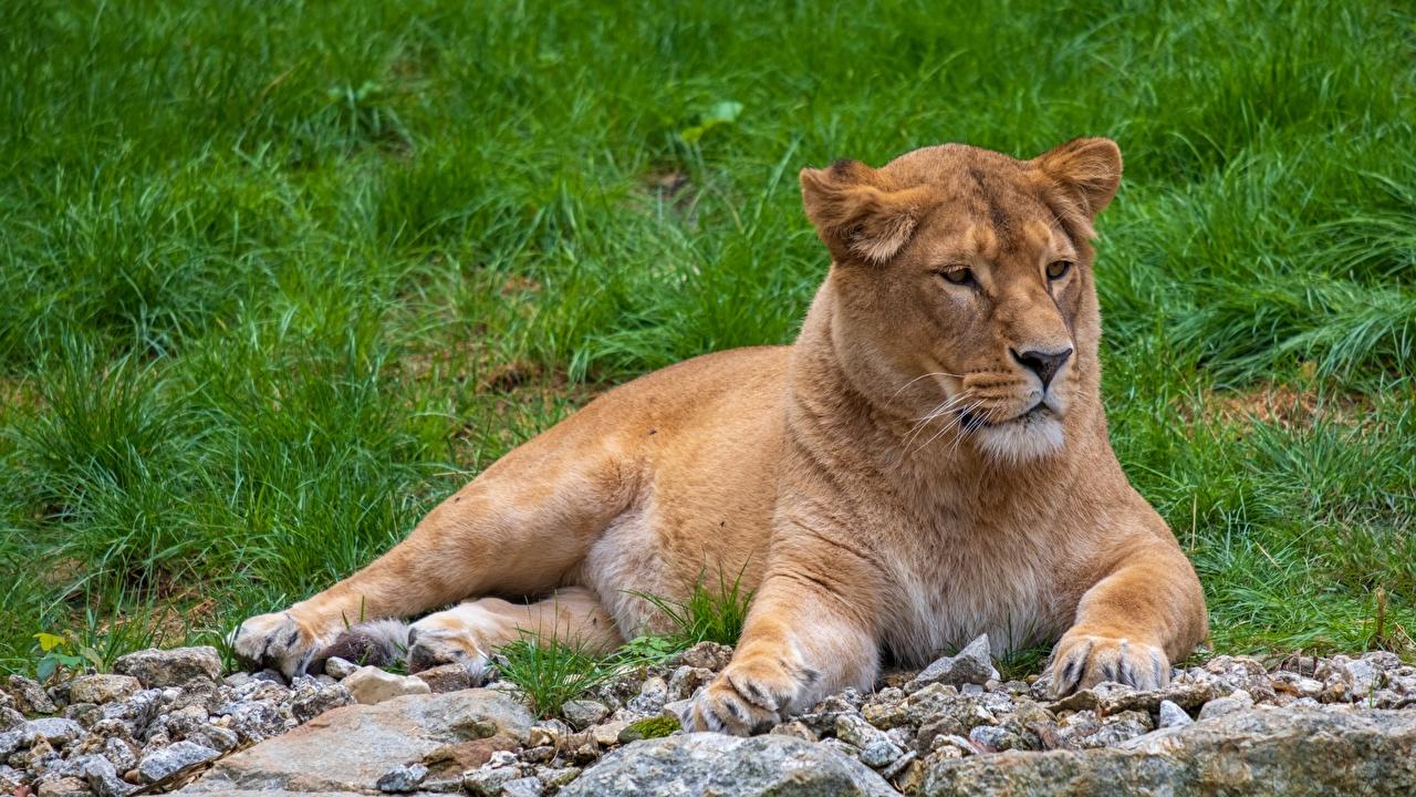 Фото лев Львица лежа Камни Взгляд Животные Львы Лежит лежат лежачие Камень смотрит смотрят животное