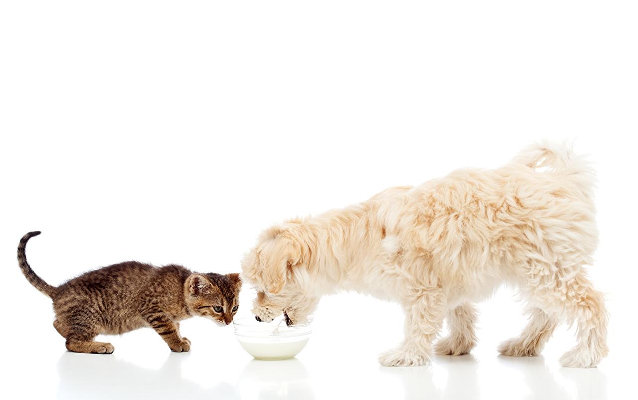 Фотография Молоко котенок Болоньез коты Собаки вдвоем Животные Белый фон котят Котята котенка кот Кошки кошка собака 2 два две Двое животное белом фоне белым фоном