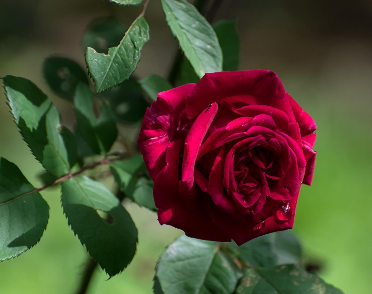 Картинка Листья Размытый фон Розы красных Цветы Крупным планом лист Листва боке роза красная красные Красный цветок вблизи