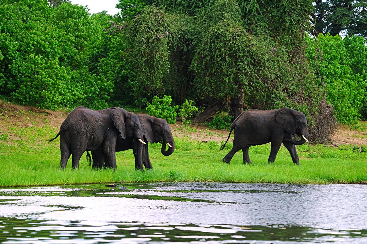 Картинка слон Трое 3 Побережье Животные Слоны три берег втроем животное