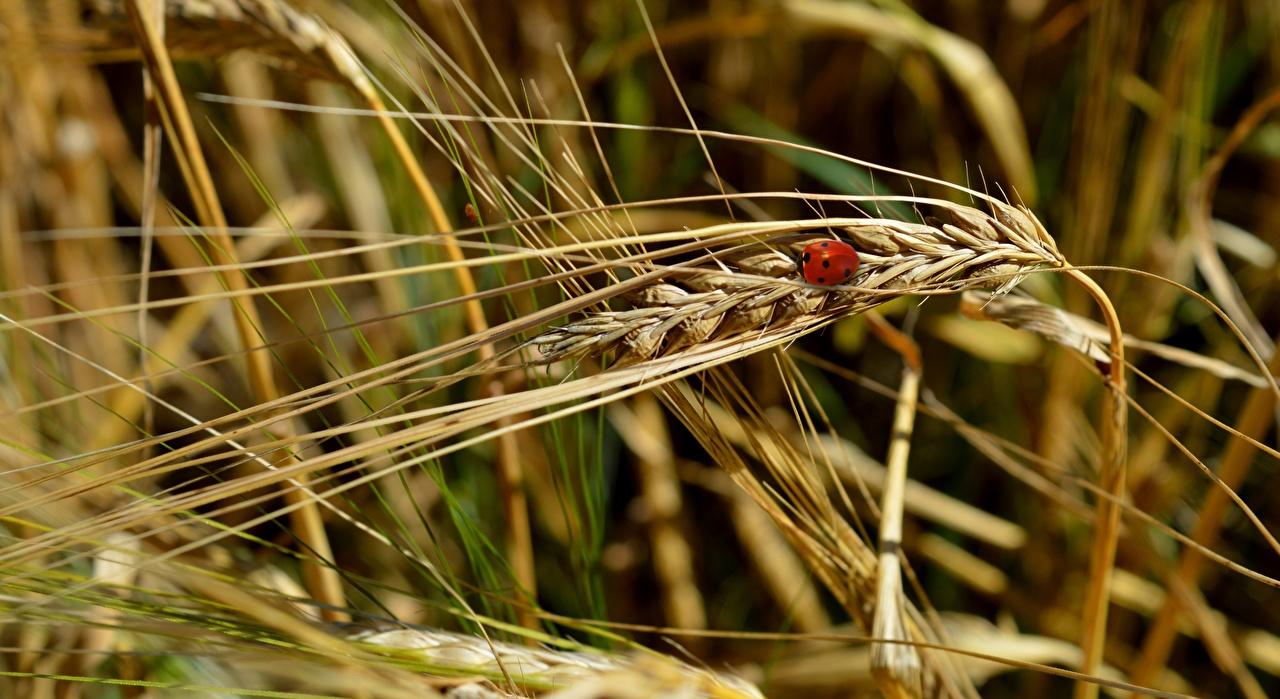 Фотография Божьи коровки Размытый фон Природа Пшеница Колос вблизи боке колосья колоски колосок Крупным планом