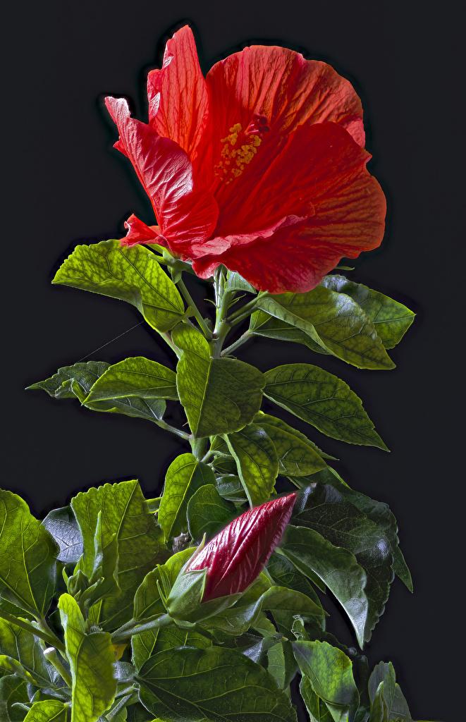 Фото Листья Красный Цветы Гибискусы Бутон Черный фон Листва