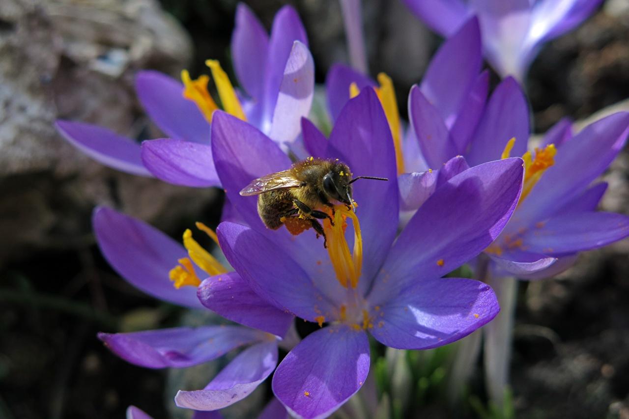 Обои для рабочего стола Пчелы Насекомые фиолетовая цветок Крокусы Крупным планом насекомое Фиолетовый фиолетовые фиолетовых Цветы Шафран вблизи