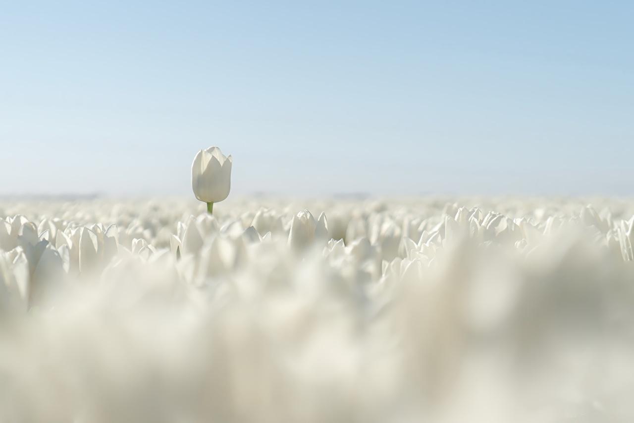 Обои для рабочего стола Белый тюльпан Поля Цветы белые белая белых Тюльпаны цветок