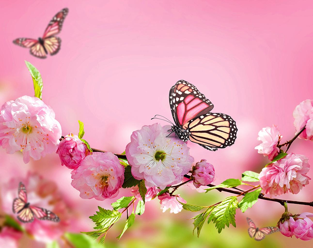 Фото Данаида монарх Бабочки цветок Цветущие деревья бабочка Цветы