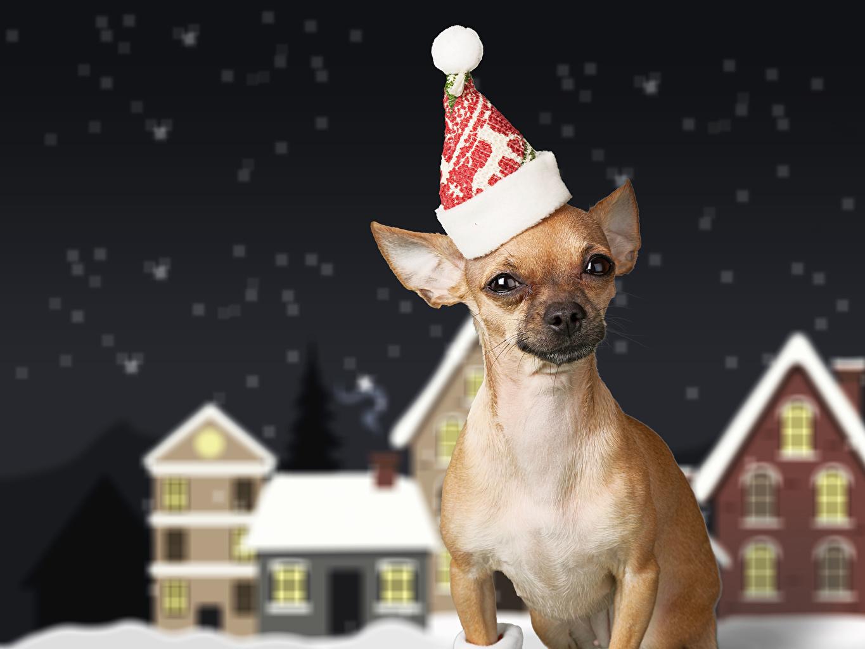 Фото Чихуахуа Собаки Рождество Шапки Животные Новый год