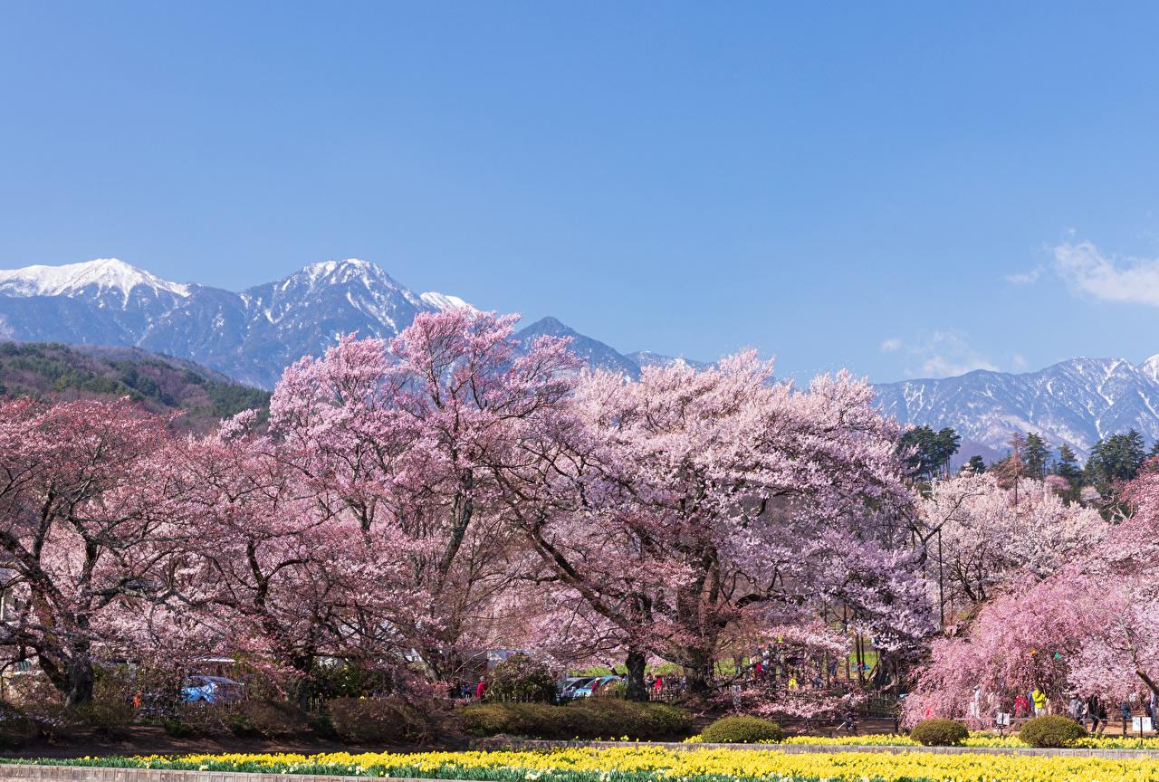 Картинки Япония Hokuto Yamanashi Prefecture Весна Природа парк Цветущие деревья весенние Парки
