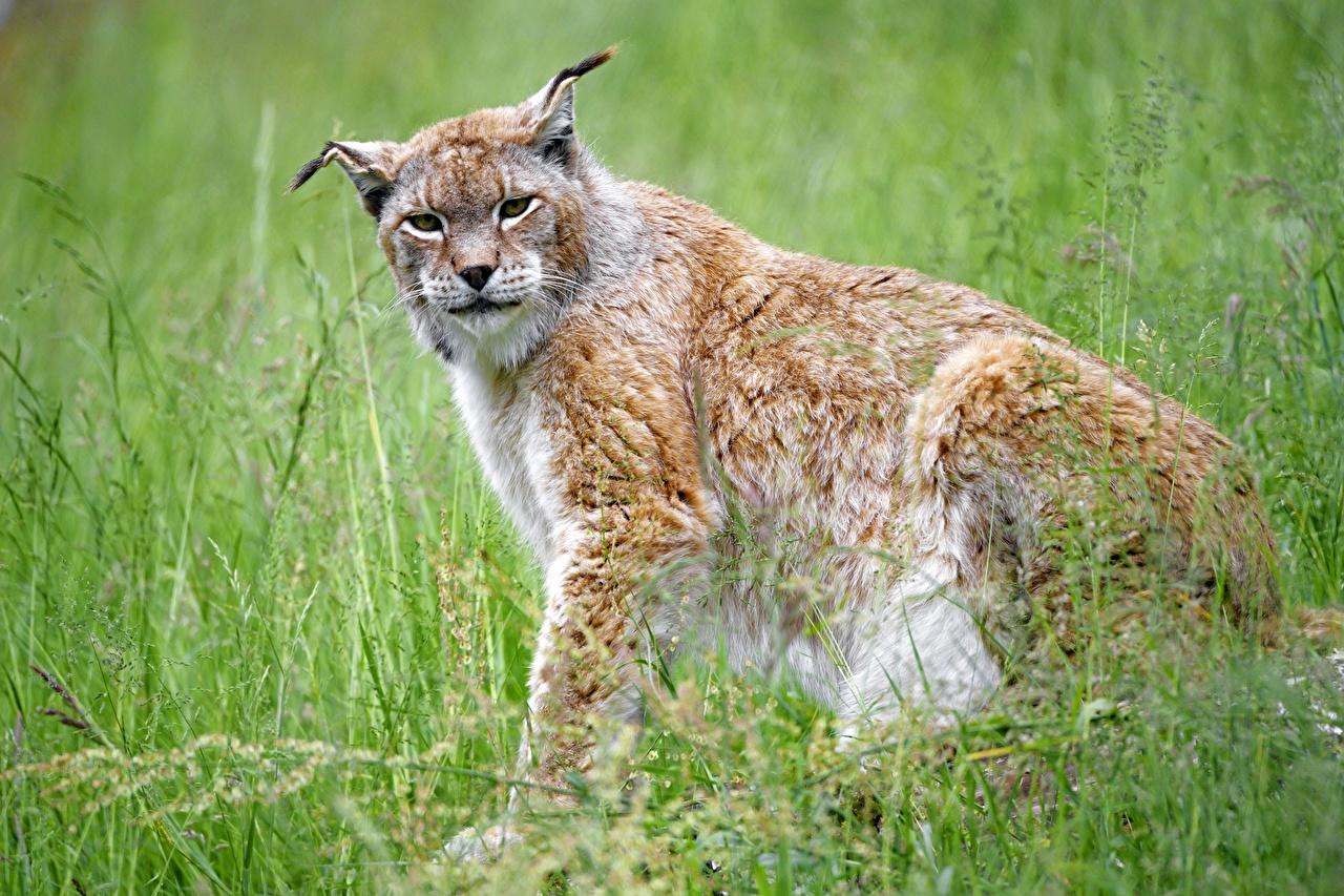 Картинка Рыси Размытый фон сидя Трава Взгляд животное рысь боке траве Сидит сидящие смотрит смотрят Животные