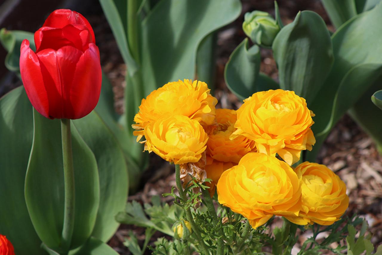 Картинка Тюльпаны Цветы Лютик вблизи тюльпан цветок Крупным планом