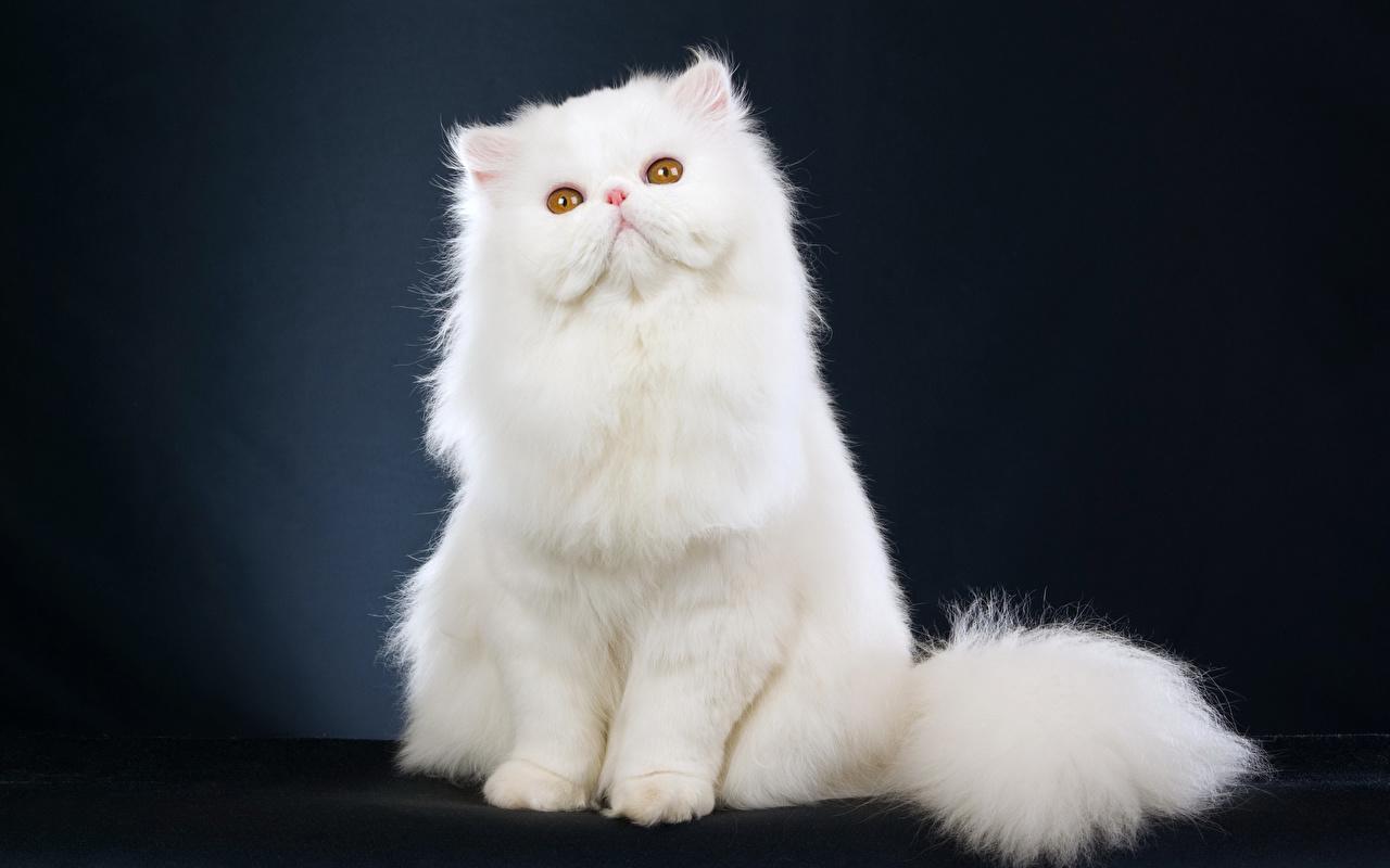 Обои для рабочего стола кошка белая сидя Животные кот коты Кошки белых белые Белый Сидит сидящие животное