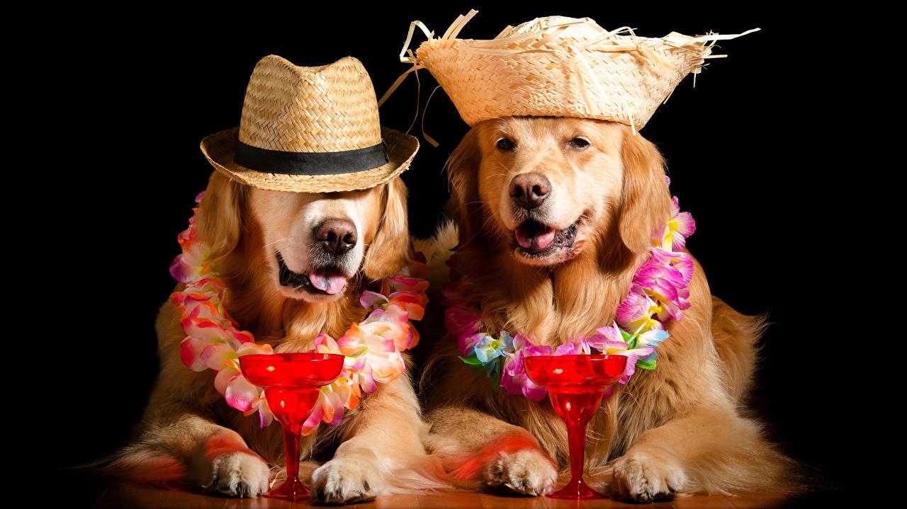 Фотография Голден Собаки Смешные Бокалы Животные Черный фон Золотистый ретривер смешной смешная забавные бокал на черном фоне
