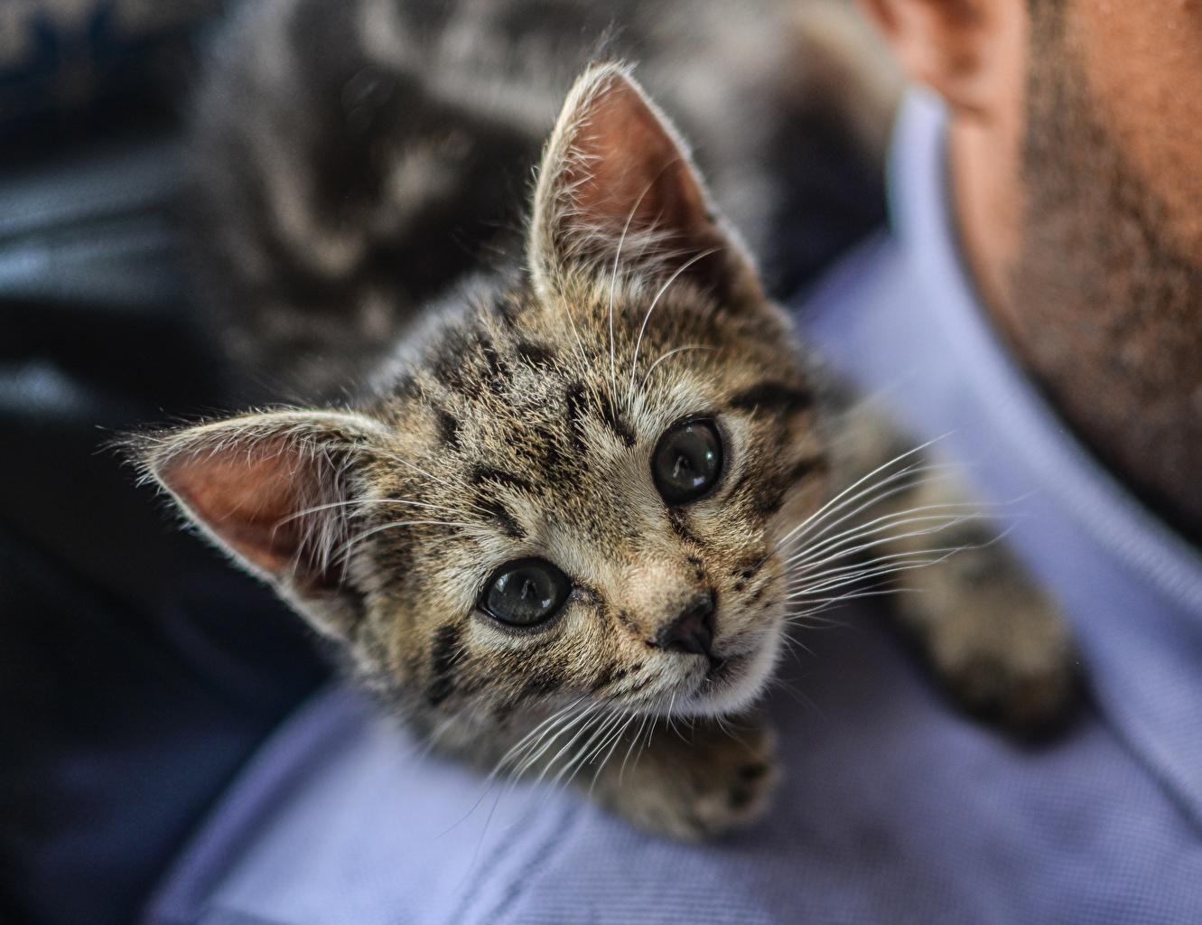 Картинки котенка Кошки Милые Усы Вибриссы смотрит животное котят Котята котенок кот коты кошка милая милый Миленькие Взгляд смотрят Животные