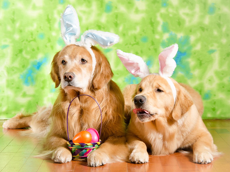 Фотографии Пасха Золотистый ретривер Собаки Ушки кролика яиц 2 Корзина животное собака яйцо Яйца яйцами два две Двое вдвоем корзины Корзинка Животные