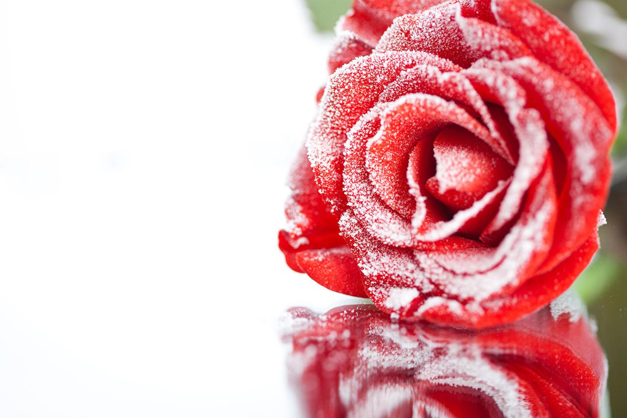 Фотография Розы Красный снеге цветок Крупным планом роза красная красные красных Снег снега снегу Цветы вблизи