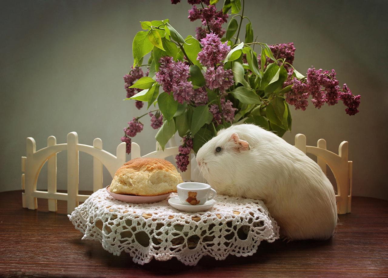 Фотографии Морские свинки Сирень Булочки Стол чашке Животные Натюрморт столы стола Чашка животное