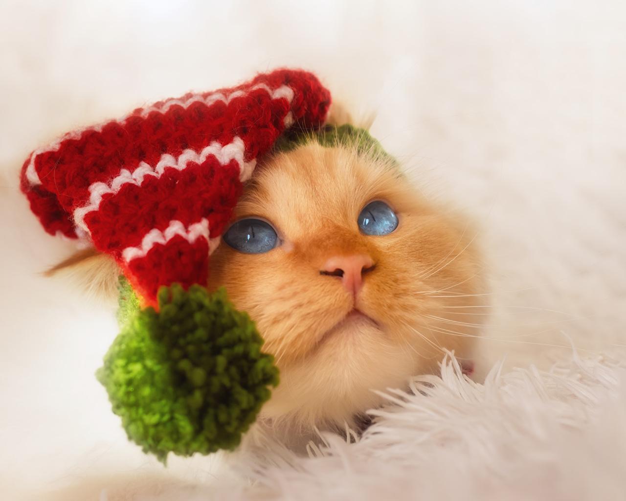 Фотография Кошки Шапки морды Взгляд Животные кот коты кошка шапка в шапке Морда смотрит смотрят животное