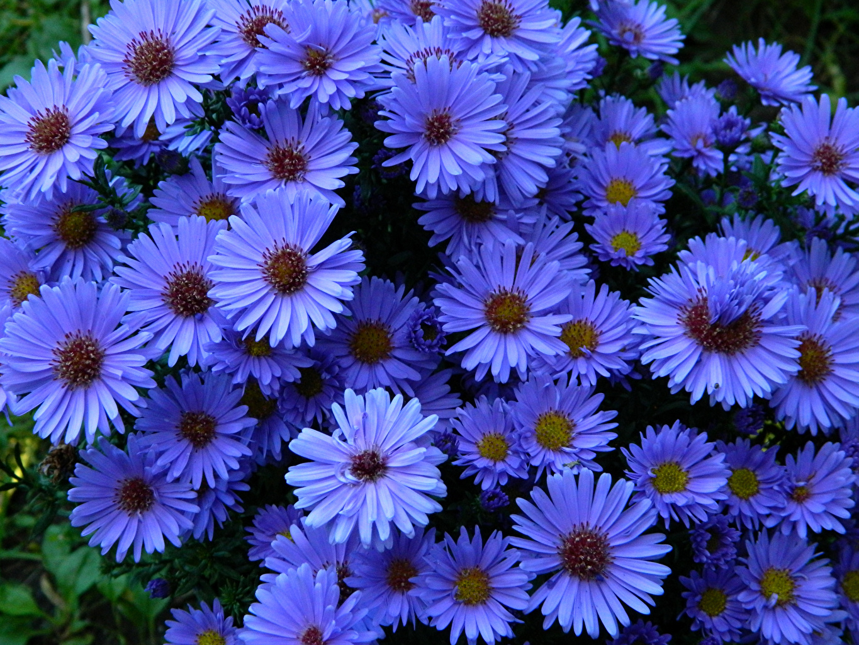 Фотографии голубых Цветы Астры Крупным планом Голубой голубые голубая цветок вблизи