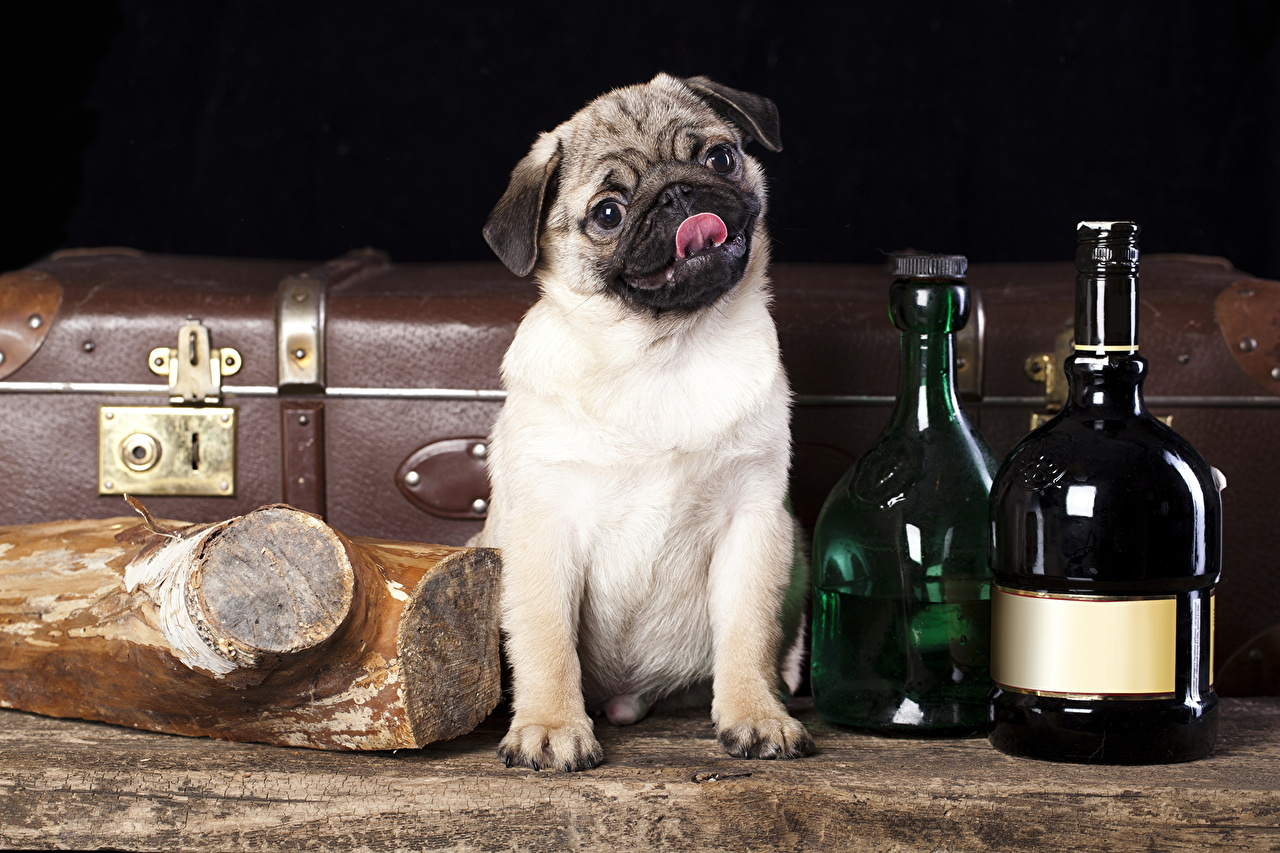 Фото мопсы собака Бутылка животное Мопс мопса Собаки бутылки Животные
