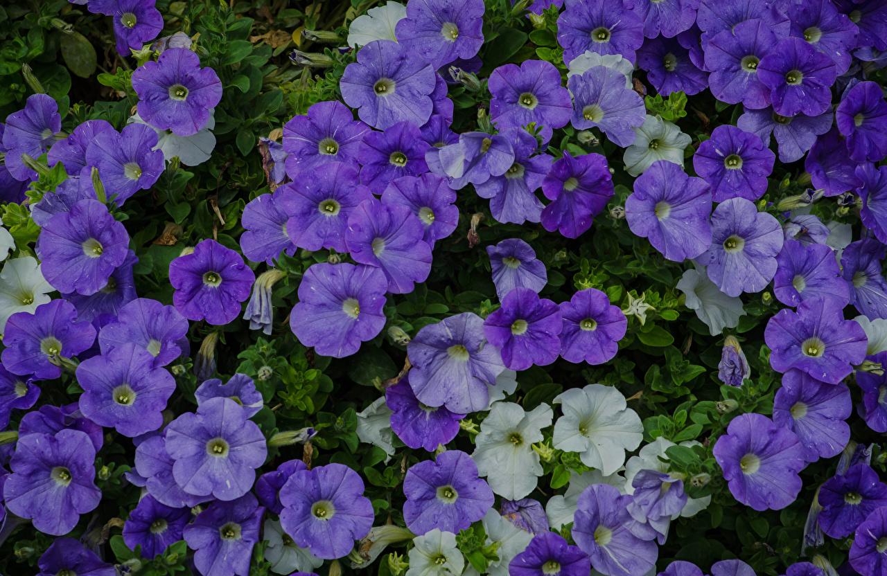 Фотографии фиолетовая Цветы Петунья Много вблизи фиолетовых фиолетовые Фиолетовый Крупным планом