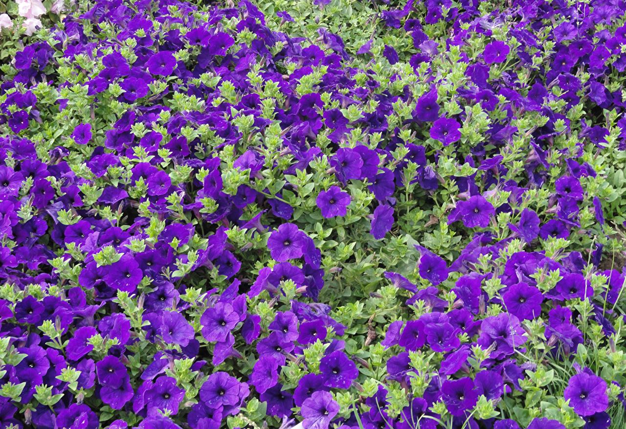 Фотография Фиолетовый Цветы Петунья Много фиолетовых фиолетовые фиолетовая