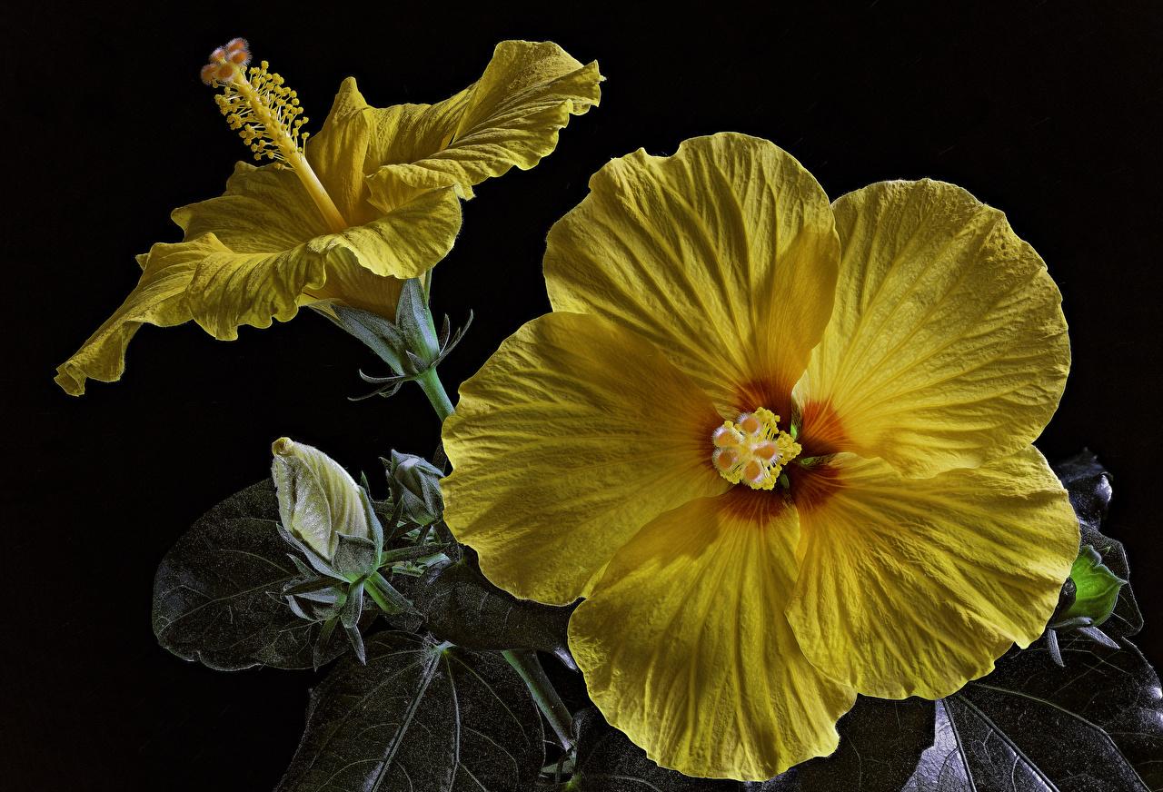 Обои Желтый Цветы Гибискусы Бутон Черный фон Крупным планом желтых желтые желтая вблизи на черном фоне