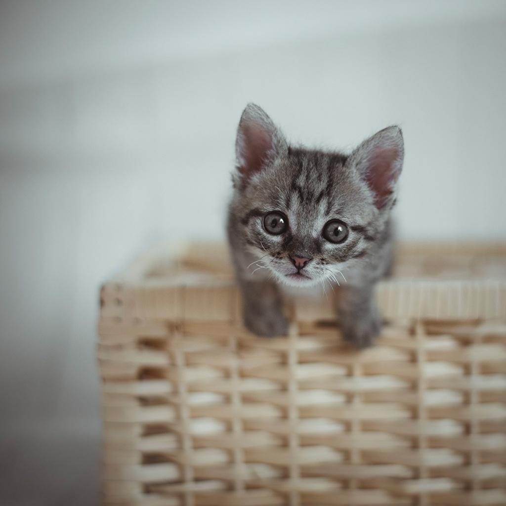 Фото котенка коты серые Корзина смотрит Животные котят Котята котенок кот Кошки кошка серая Серый корзины Корзинка Взгляд смотрят животное