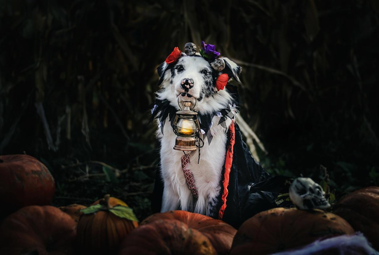 Картинки Австралийская овчарка собака Керосиновая лампа животное аусси Собаки Животные