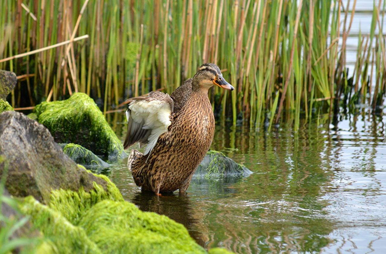 Фото Утки Птицы мха воде Камни Животные утка птица Мох Вода мхом Камень животное