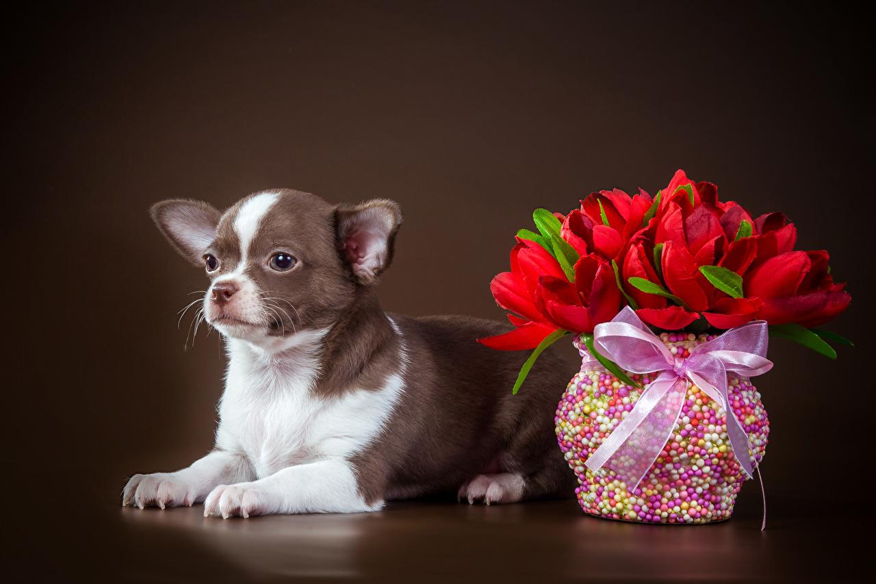Фотографии Чихуахуа собака тюльпан Цветы бант Ваза Животные Цветной фон Собаки Тюльпаны цветок вазе вазы Бантик бантики животное