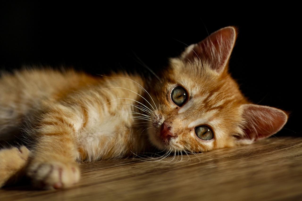 Фотография кот Лежит Размытый фон Рыжий лап смотрят Животные коты кошка Кошки лежа лежат лежачие боке рыжая рыжие Лапы Взгляд смотрит животное