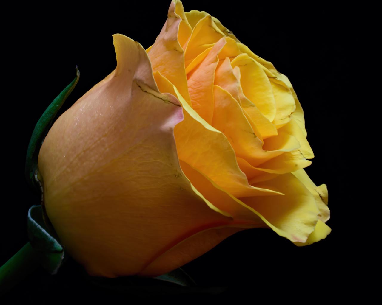 Картинка роза желтая цветок Черный фон Крупным планом Розы Желтый желтые желтых Цветы вблизи на черном фоне