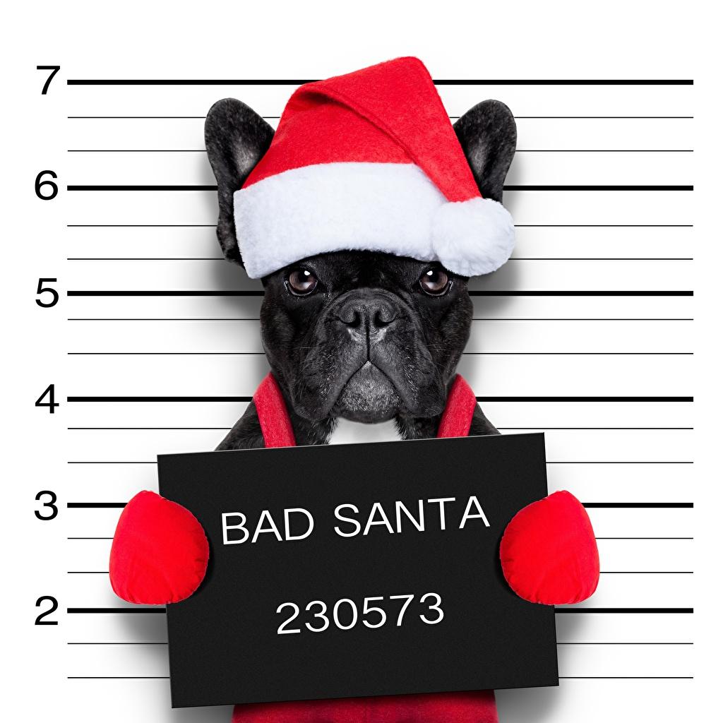 Картинки Французский бульдог Собаки Рождество Смешные шапка животное собака Новый год смешной смешная забавные Шапки в шапке Животные