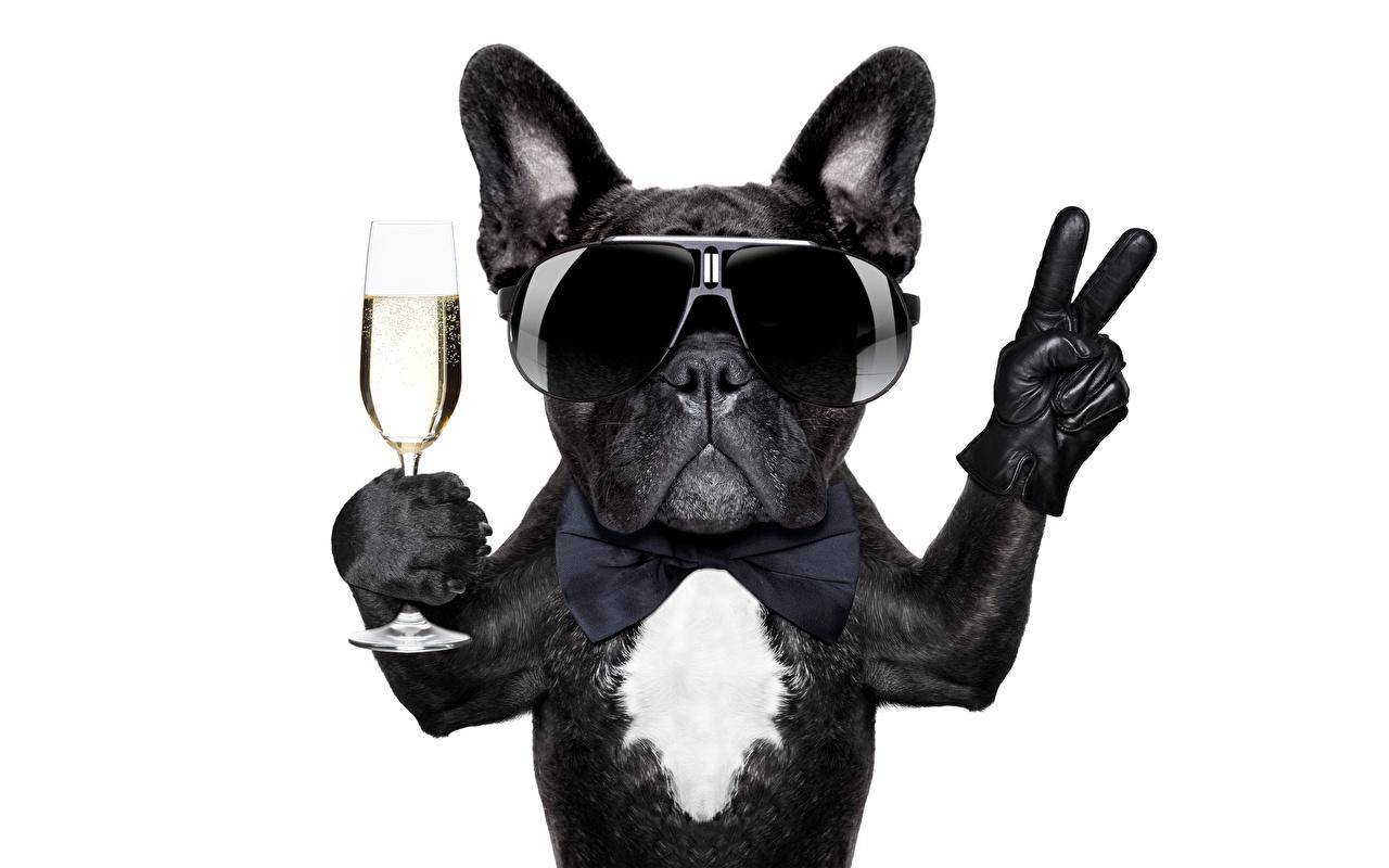 Картинки бульдога Собаки смешная Очки Бокалы животное белым фоном Бульдог смешной Смешные забавные бокал очках очков Животные Белый фон белом фоне