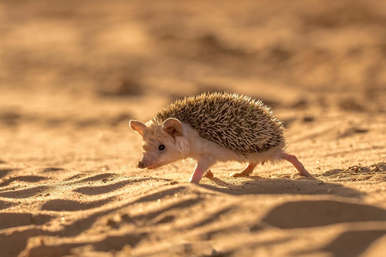Фотография Ежики Песок Животные Ежи
