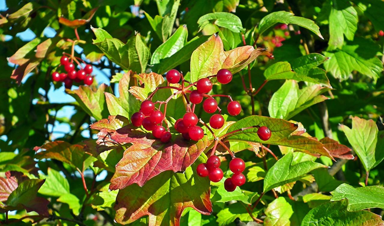 Фотографии Листья guelder rose Viburnum красных Ягоды Продукты питания лист Листва красная красные Красный Еда Пища
