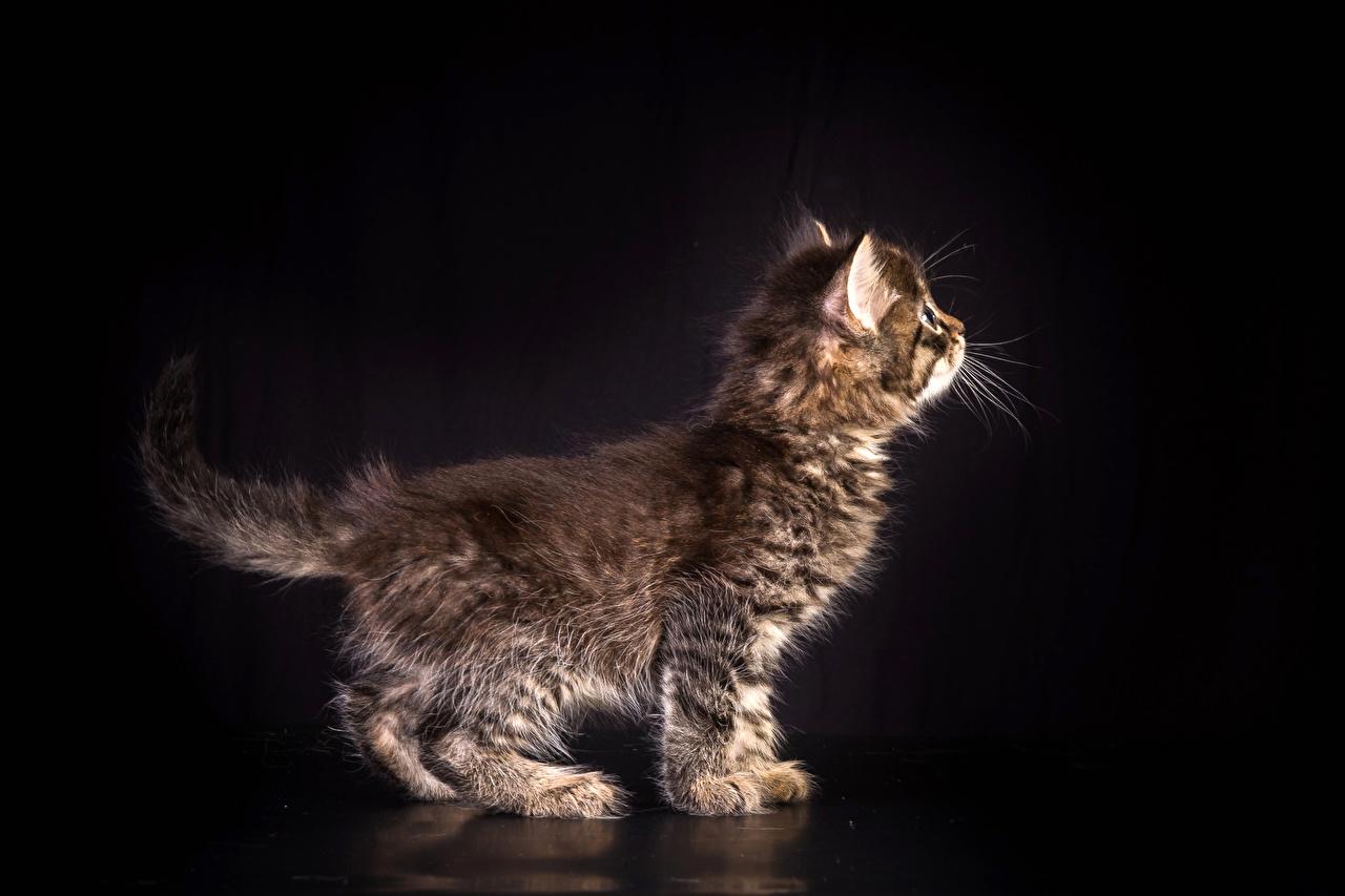 Фотография Котята Кошки Животные Черный фон Коты