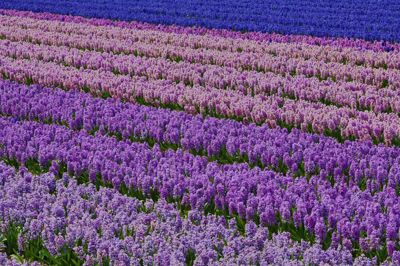 Картинка Поля Цветы Гиацинты Много