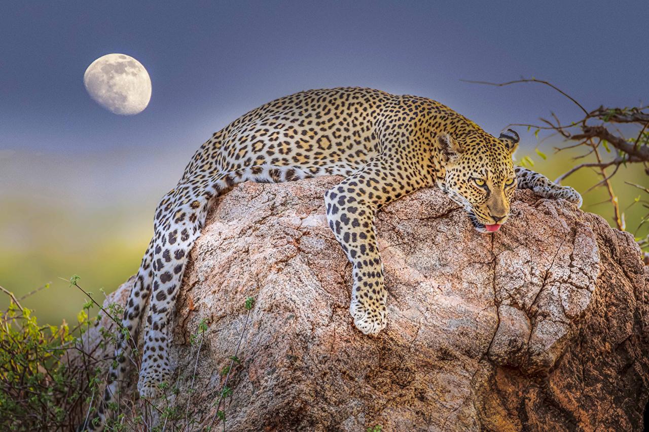 Фотография леопард лежа Луна Камни Животные Леопарды Лежит лежат лежачие луны луной Камень животное