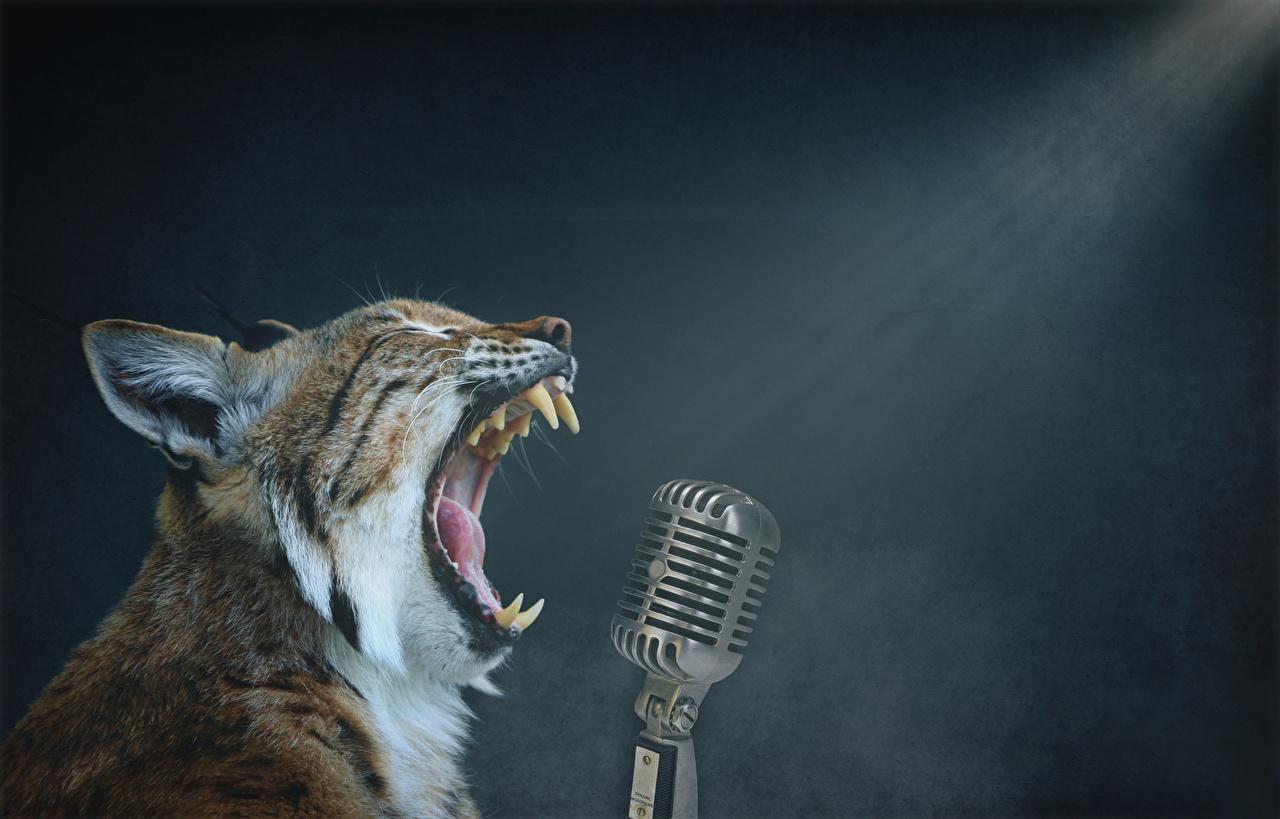 Фото Рыси Клыки Микрофон злой животное рысь микрофоны микрофоном рычит Оскал злость Животные