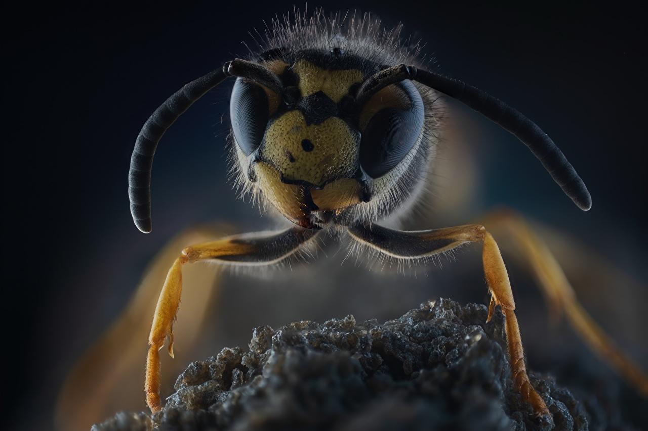 Обои для рабочего стола осы Макросъёмка вблизи животное Оса Макро Животные Крупным планом