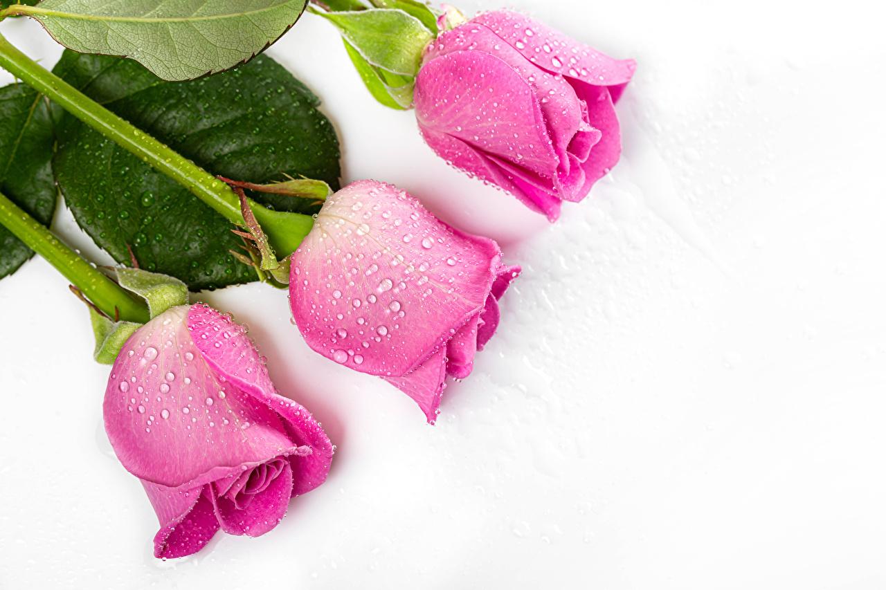 Картинка роза Розовый капля Цветы втроем вблизи белым фоном Розы розовая розовые розовых Капли капель цветок капельки три Трое 3 Белый фон белом фоне Крупным планом
