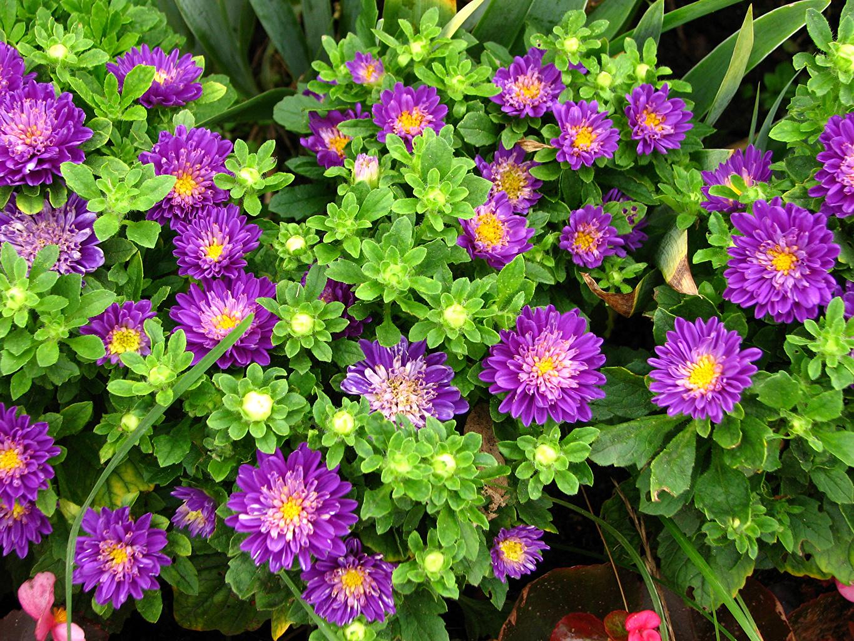 Обои для рабочего стола фиолетовые Астры цветок Крупным планом фиолетовых Фиолетовый фиолетовая Цветы вблизи