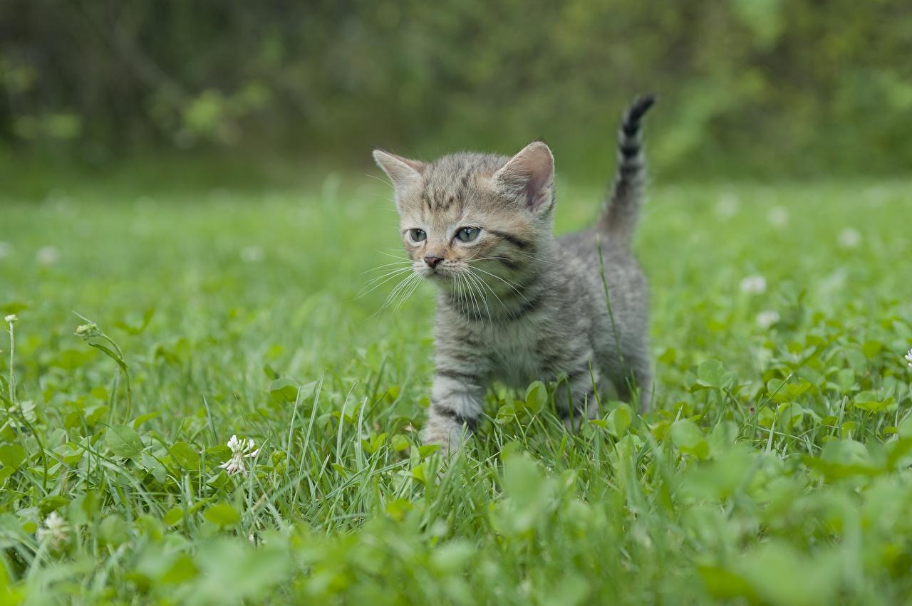 Фотография Котята кошка боке Трава животное котят котенок котенка кот коты Кошки Размытый фон траве Животные