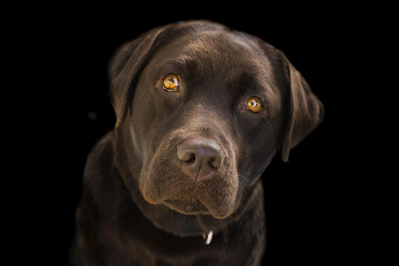 Картинки животное ретривера собака Морда смотрит Черный фон Крупным планом Лабрадор-ретривер Животные Ретривер Собаки морды Взгляд вблизи смотрят на черном фоне
